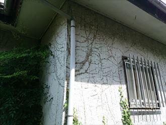 佐倉市 外壁にツタ
